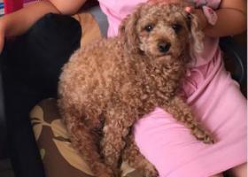 寻狗启示,于西青区杨柳青青云里小区丢失小型泰迪一只,它是一只非常可爱的宠物狗狗,希望它早日回家,不要变成流浪狗。