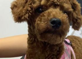 寻狗启示,泰迪,棕红色,公,叫帅帅,它是一只非常可爱的宠物狗狗,希望它早日回家,不要变成流浪狗。