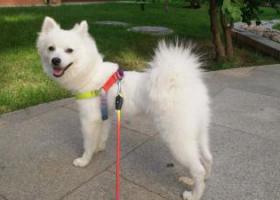 寻狗启示,寻找白色银狐公狗 蛋蛋 2岁 立耳 卷尾,它是一只非常可爱的宠物狗狗,希望它早日回家,不要变成流浪狗。