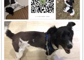 寻狗启示,南京浦口区万汇城黑白花狗 中型公狗 叫花花 像边牧,它是一只非常可爱的宠物狗狗,希望它早日回家,不要变成流浪狗。
