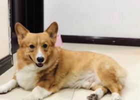 寻狗启示,雄楚大道剑桥名邸 寻找走失柯基!!,它是一只非常可爱的宠物狗狗,希望它早日回家,不要变成流浪狗。