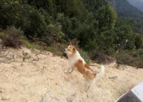 寻狗启示,急急急急!!非常急!!,它是一只非常可爱的宠物狗狗,希望它早日回家,不要变成流浪狗。