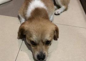 寻狗启示,捡到一只黄白色狗狗急找主人,它是一只非常可爱的宠物狗狗,希望它早日回家,不要变成流浪狗。