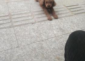 寻狗启示,公泰迪  年龄2岁左右,它是一只非常可爱的宠物狗狗,希望它早日回家,不要变成流浪狗。
