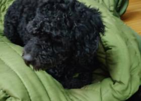 寻狗启示,江汉大学5号门捡到一只黑色比熊犬,它是一只非常可爱的宠物狗狗,希望它早日回家,不要变成流浪狗。