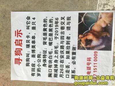 寻狗启示,博美串串,小公狗,瑞贝卡,它是一只非常可爱的宠物狗狗,希望它早日回家,不要变成流浪狗。