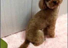 寻狗启示,寻找五岁未断尾公泰迪,它是一只非常可爱的宠物狗狗,希望它早日回家,不要变成流浪狗。