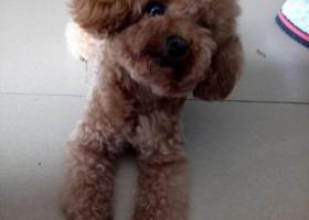 寻狗启示,五通庙附近走失一条红棕贵宾犬,它是一只非常可爱的宠物狗狗,希望它早日回家,不要变成流浪狗。