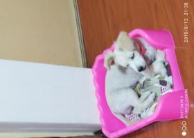 寻狗启示,金坛一只萨摩耶和土狗配种在丽锦家园丢失!,它是一只非常可爱的宠物狗狗,希望它早日回家,不要变成流浪狗。