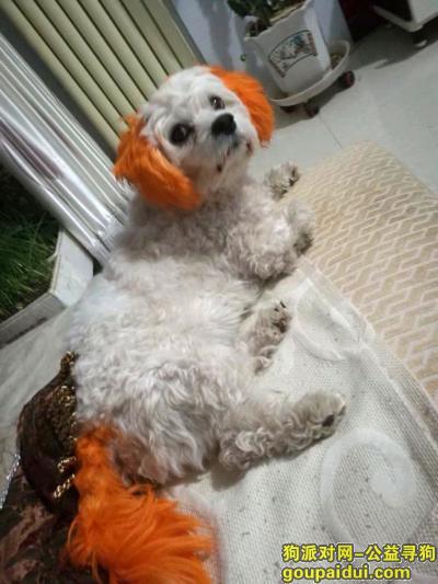 承德寻狗启示,寻找白色黄耳朵黄尾巴小狗承德医学院附近,它是一只非常可爱的宠物狗狗,希望它早日回家,不要变成流浪狗。