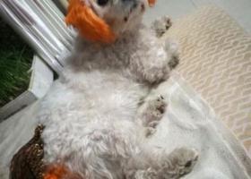 寻狗启示,寻找白色黄耳朵黄尾巴小狗承德医学院附近,它是一只非常可爱的宠物狗狗,希望它早日回家,不要变成流浪狗。