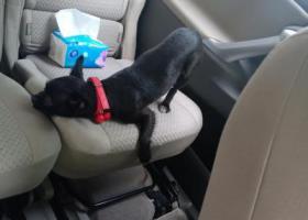 寻狗启示,黑色小狗  脖子上挂了一个铃铛,它是一只非常可爱的宠物狗狗,希望它早日回家,不要变成流浪狗。