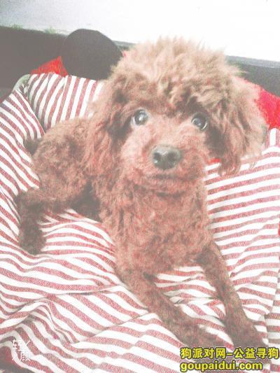临沂丢狗,山东临沂兰山区寻狗深棕色母泰迪非常急望帮忙,它是一只非常可爱的宠物狗狗,希望它早日回家,不要变成流浪狗。