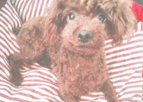 寻狗启示,山东临沂兰山区寻狗深棕色母泰迪非常急望帮忙,它是一只非常可爱的宠物狗狗,希望它早日回家,不要变成流浪狗。