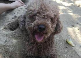 寻狗启示,寻 泰迪 公 14  灰,它是一只非常可爱的宠物狗狗,希望它早日回家,不要变成流浪狗。