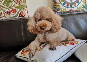 寻狗启示,寻狗启示 泰迪 谢谢大家,它是一只非常可爱的宠物狗狗,希望它早日回家,不要变成流浪狗。