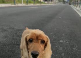 寻狗启示,佘北家园丢失一只可卡犬外形形似金毛,它是一只非常可爱的宠物狗狗,希望它早日回家,不要变成流浪狗。