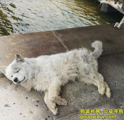 威海捡到狗,三岁左右的流浪狗萨摩耶犬,它是一只非常可爱的宠物狗狗,希望它早日回家,不要变成流浪狗。