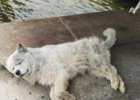 寻狗启示,三岁左右的流浪狗萨摩耶犬,它是一只非常可爱的宠物狗狗,希望它早日回家,不要变成流浪狗。