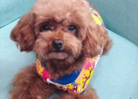 寻狗启示,上海市永康路附近走失爱犬泰迪一只,它是一只非常可爱的宠物狗狗,希望它早日回家,不要变成流浪狗。