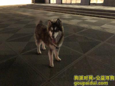 大同寻狗网,七个月阿拉斯加代王府附近丢失,它是一只非常可爱的宠物狗狗,希望它早日回家,不要变成流浪狗。