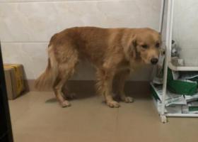寻狗启示,寻找一只快到一岁的金毛,它是一只非常可爱的宠物狗狗,希望它早日回家,不要变成流浪狗。