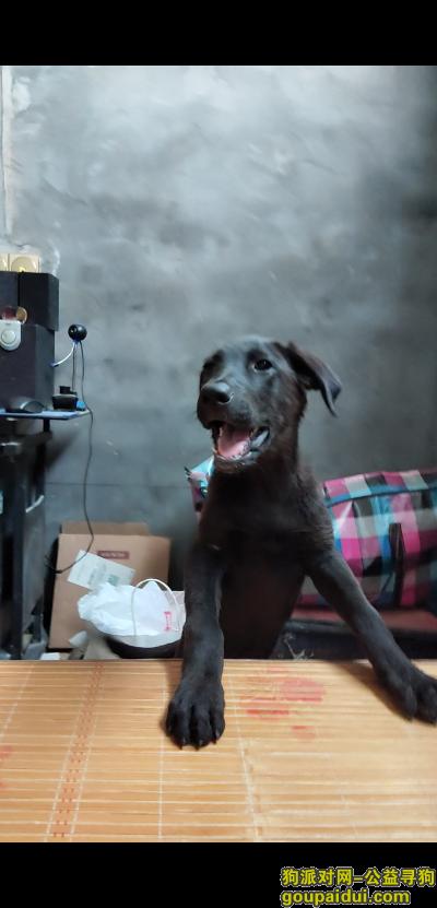 亳州找狗,寻找大约三个月大的黑色拉布拉多犬,它是一只非常可爱的宠物狗狗,希望它早日回家,不要变成流浪狗。