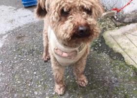 寻狗启示,捡到小泰迪狗一只2岁,它是一只非常可爱的宠物狗狗,希望它早日回家,不要变成流浪狗。