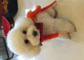 寻狗启示,成都龙泉驿寻找爱犬,白色贵宾犬。,它是一只非常可爱的宠物狗狗,希望它早日回家,不要变成流浪狗。