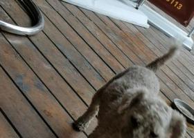 寻狗启示,7月8号早上,一只白色狗狗,它是一只非常可爱的宠物狗狗,希望它早日回家,不要变成流浪狗。
