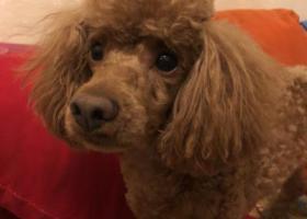 寻狗启示,2000元寻找泰迪狗,请好心人联系,它是一只非常可爱的宠物狗狗,希望它早日回家,不要变成流浪狗。