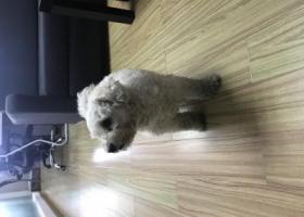 寻狗启示,深圳白色泰迪or比熊急需被领养,它是一只非常可爱的宠物狗狗,希望它早日回家,不要变成流浪狗。