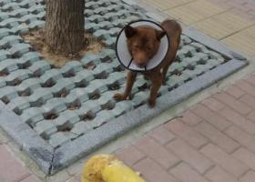 寻狗启示,在路边发现的棕色小狗,请问怎么办,它是一只非常可爱的宠物狗狗,希望它早日回家,不要变成流浪狗。