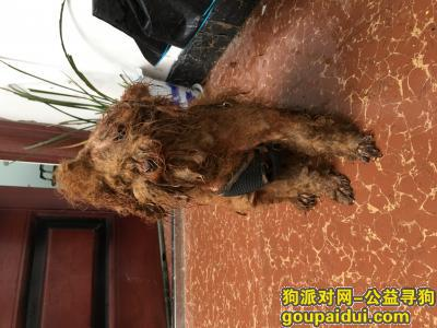 ,雅儒路 棕色贵宾 棕色泰迪 公狗 有辫子 有狗绳,它是一只非常可爱的宠物狗狗,希望它早日回家,不要变成流浪狗。