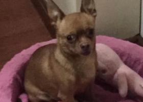 寻狗启示,寻找爱犬小T,8岁公犬鹿宝宝,毛色深黄有尾巴。,它是一只非常可爱的宠物狗狗,希望它早日回家,不要变成流浪狗。