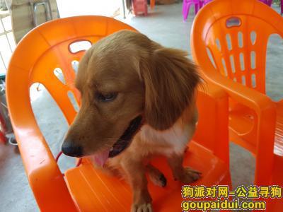 ,谁家丢了条金毛串串狗,它是一只非常可爱的宠物狗狗,希望它早日回家,不要变成流浪狗。
