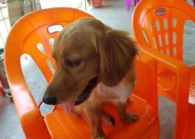 寻狗启示,谁家丢了条金毛串串狗,它是一只非常可爱的宠物狗狗,希望它早日回家,不要变成流浪狗。