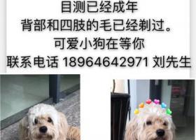 寻狗启示,7月9日在锦秋路上捡到的泰迪,它是一只非常可爱的宠物狗狗,希望它早日回家,不要变成流浪狗。