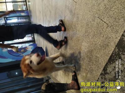宜春寻狗启示,农村出来的,不认识叫啥狗,它是一只非常可爱的宠物狗狗,希望它早日回家,不要变成流浪狗。