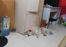 寻狗启示,捡到美狗一只,希望送回原来的主人,它是一只非常可爱的宠物狗狗,希望它早日回家,不要变成流浪狗。