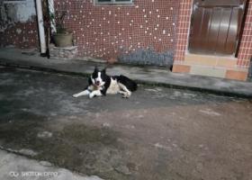 寻狗启示,一只边牧7月9号开始来我这附近溜达,它是一只非常可爱的宠物狗狗,希望它早日回家,不要变成流浪狗。