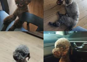 寻狗启示,长沙市南门口步行街巧克力色公泰迪走丢,它是一只非常可爱的宠物狗狗,希望它早日回家,不要变成流浪狗。