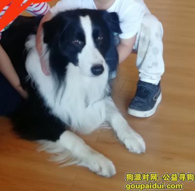 寻狗启示,寻找边境牧羊犬,如有线索必将感谢,它是一只非常可爱的宠物狗狗,希望它早日回家,不要变成流浪狗。