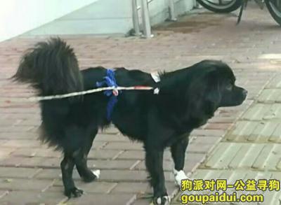 ,2019年7月12日凌晨,汕樟路金沙湾(原金砂侨社)捡到一只黑色母狗,带绳。,它是一只非常可爱的宠物狗狗,希望它早日回家,不要变成流浪狗。