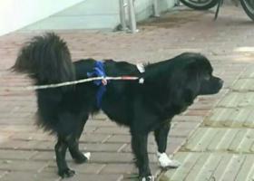 寻狗启示,2019年7月12日凌晨,汕樟路金沙湾(原金砂侨社)捡到一只黑色母狗,带绳。,它是一只非常可爱的宠物狗狗,希望它早日回家,不要变成流浪狗。