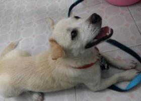 寻狗启示,在深圳沙井明珠市场(西荟城)附近捡到一只雄性狗狗,它是一只非常可爱的宠物狗狗,希望它早日回家,不要变成流浪狗。