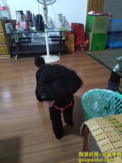 株洲找狗主人,7月6日左右在株洲一家饭店捡到黑色泰迪一只,它是一只非常可爱的宠物狗狗,希望它早日回家,不要变成流浪狗。