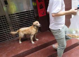 寻狗启示,深圳市宝安区宝民一路灶下村发现一只走失金毛[2019.7.14 13:30发现],它是一只非常可爱的宠物狗狗,希望它早日回家,不要变成流浪狗。