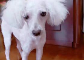 寻狗启示,长沙河西白色剪了毛比熊丢失,它是一只非常可爱的宠物狗狗,希望它早日回家,不要变成流浪狗。