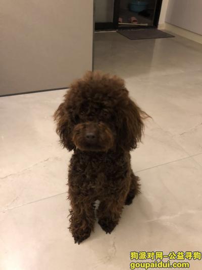 寻狗启示,泰迪 咖啡色 身上参杂着白色毛,它是一只非常可爱的宠物狗狗,希望它早日回家,不要变成流浪狗。
